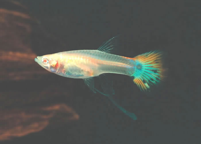 guppy fish yahoo - Dark blue Moscow Guppies (freshwater fish) 2017 ...