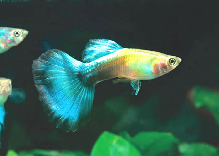 Currently have males and would die. pmi got pair in asince then.  Neon-red guppy, red stripe, snake skin.