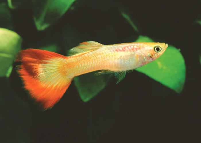 Tropical Fish International -- Fishes -- Guppies