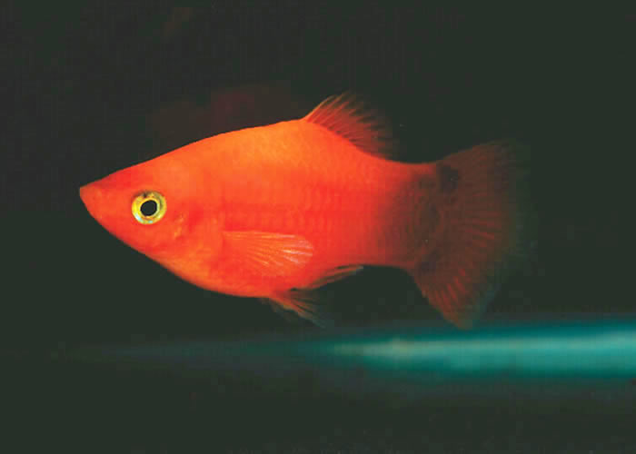 Tropical fish international pte ltd fishes guppies for Molly fish babies