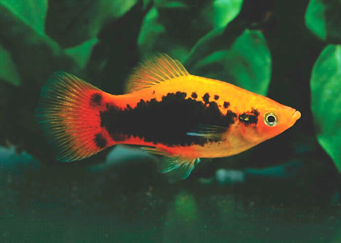 peces de pecera y varios tipos de pecera