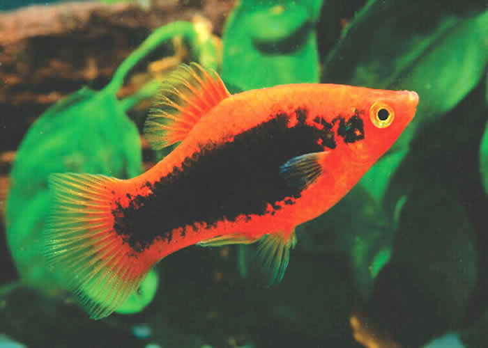 Tropical Fish International Pte Ltd -- Fishes -- Guppies Guppy Fish Eggs In Tank