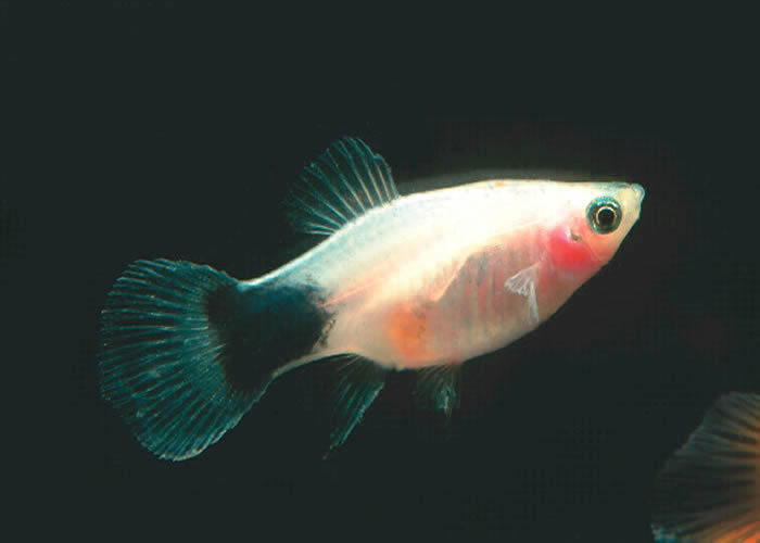 Tropical Fish International Pte Ltd -- Fishes -- Guppies
