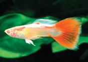 Albino redtail - Lepistes Varyeteleri
