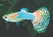AquaMarine Glass iu32 - Lepistes Varyeteleri