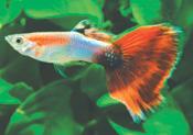 AquaMarine redtail1 - Lepistes Varyeteleri
