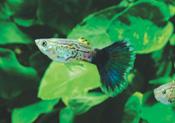 BlueCobra a - Lepistes Varyeteleri