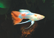BlueSky red tail a2 - Lepistes Varyeteleri