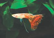 RedTail Ribbon male - Lepistes Varyeteleri