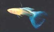 albino - Lepistes Varyeteleri