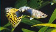 leotail - Lepistes Varyeteleri